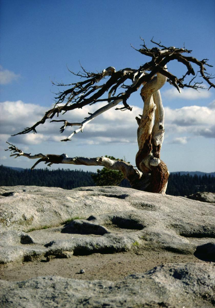 Kahler Baum im Yosemite Nationalpark