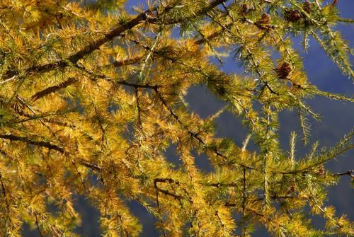 Lärchenzweige im Herbstlicht