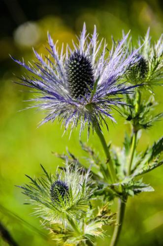Die Alpen-Mannstreu ist eine Pflanzenart aus der Familie der Doldenblütler.