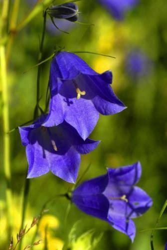Rundblättrige-Glockenblume