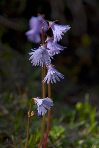 Echtes Alpenglöckchen, Glockenblumengewächse