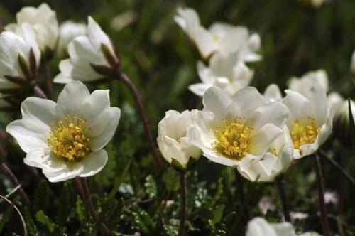 Weiße Silberwurz, Rosengewächse