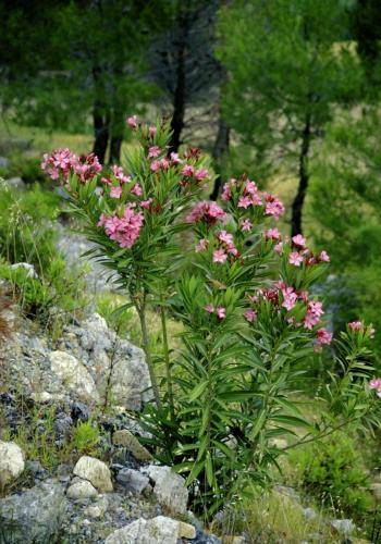 Oleanderstrauch