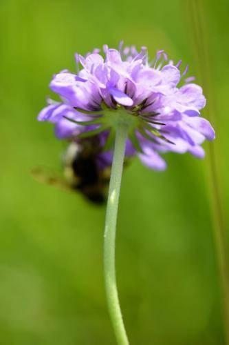 Wiesen-Witwenblume