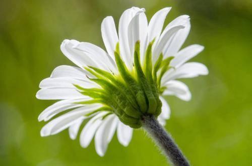 Margariten (Wucherblumen) Korbblütengewächse