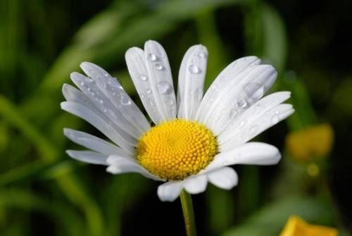Margariten (Wucherblumen)