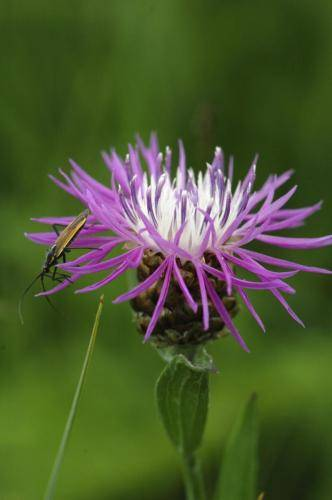Perücken-Flockenblume