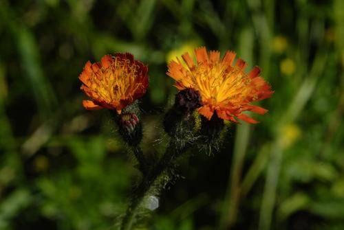 Orangerotes-Habichtskraut