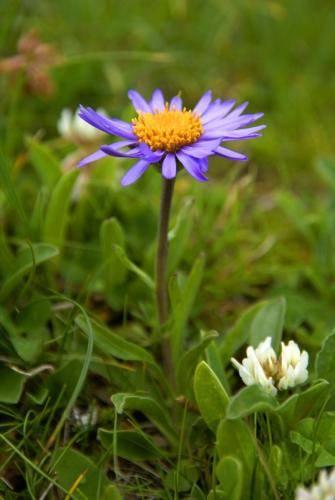 Die Alpen-Aster, auch Alpen-Sternblume