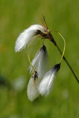 Schmalblätteriges Wollgras