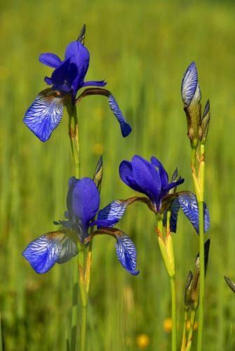 Sibirische-Schwertlilie