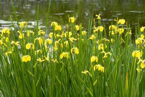 Gelbe Schwertlilien