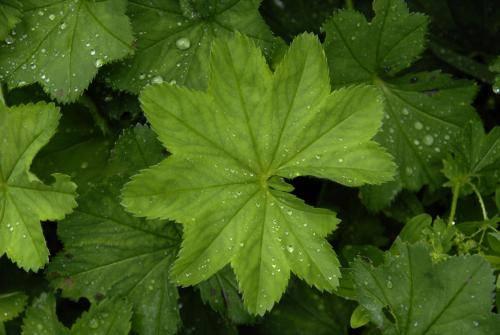 Frauenmantel; Heilpflanze