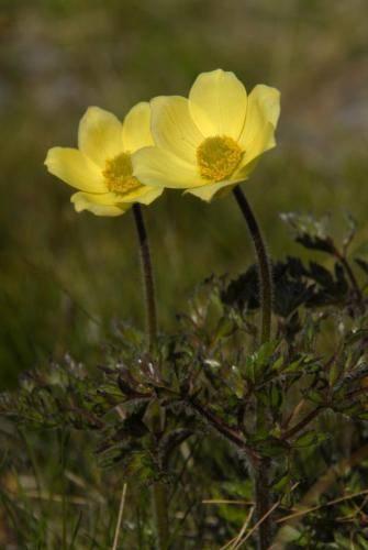 Schwefelgelbe Alpen Kuhschelle, Schwefel-Anemone