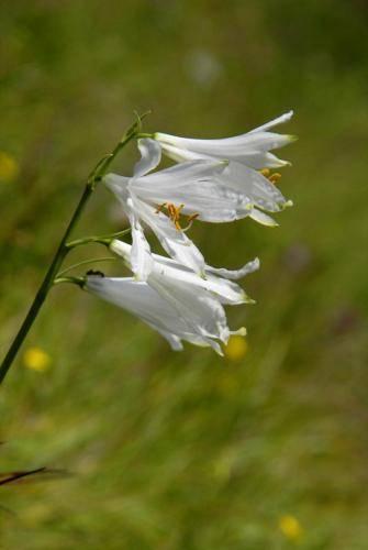 Weiße Trichterlilie