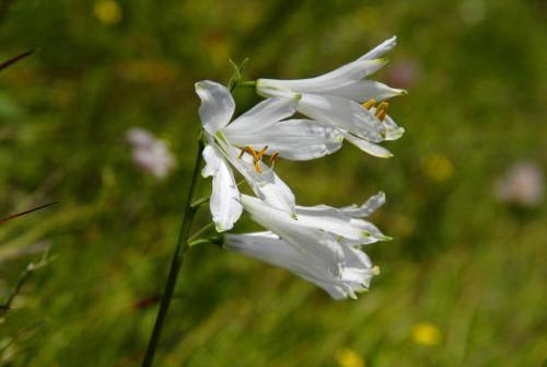 Die Weiße Trichterlilie