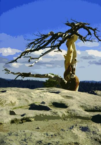 Kahler Baum vom Wind verweht, im Yosemite Nationalpark