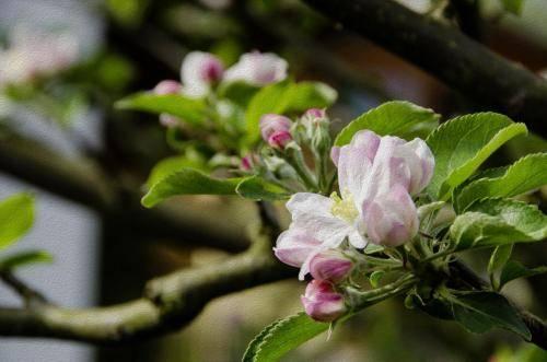 Apfelblüten Impressionen