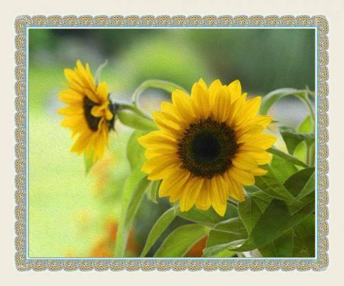 Sonnenblumen Impressionen