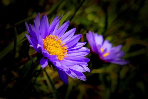Die Alpen-Aster auch Alpen-Sternblume