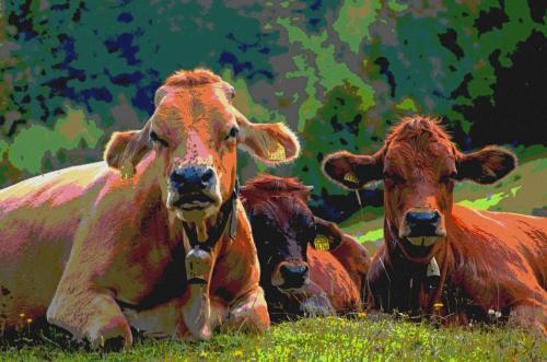 Wiederkäuende Kühe