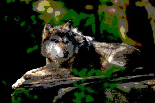 Ruhender Wolf