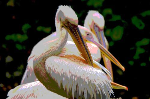 Rosa-Pelikane