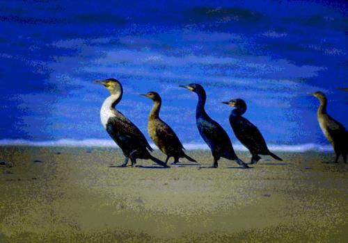 Kapkormoranfamilie im Gleichschritt