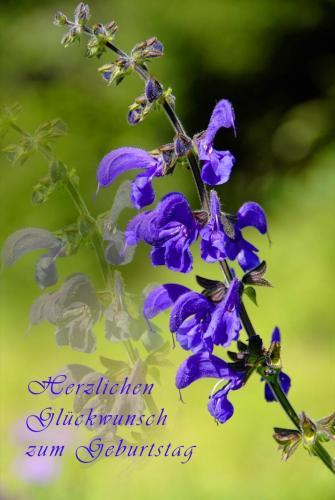 Glückwunschkarte, Wiesen-Salbei (Salvia pratensis) Heilpflanze