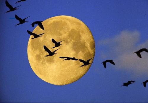 Vogelschwarm im Licht des Mondes