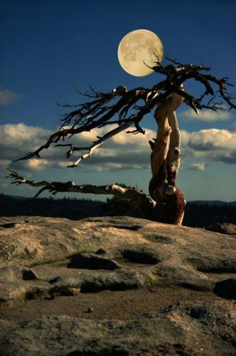 Mondstimmung im Yosemite Nationalpark. Kahler Baum vom Wind verweht,