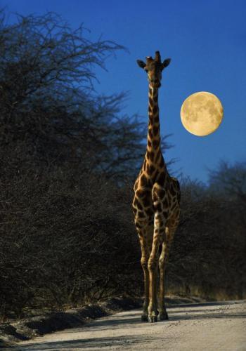 Giraffe mit Vollmond