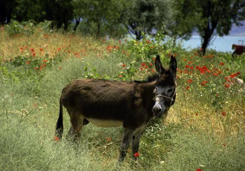 Einsamer Esel in einem Blumenmeer