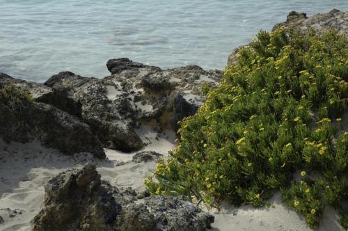 Strandblumen an der Elafanisi Beach in Westkreta