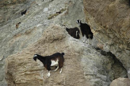 Ziegenherde im wilden Westen Kretas