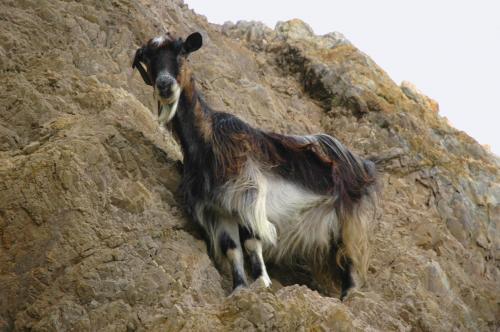 Ziegen im wilden Westen Kretas