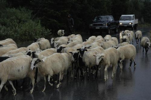 Schafherdenabtrieb auf Kreta