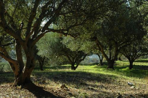 Olivenhain auf Kreta