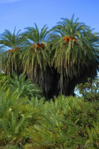 Palmen am Palmenstrand von Vai, Kreta, Griechenland