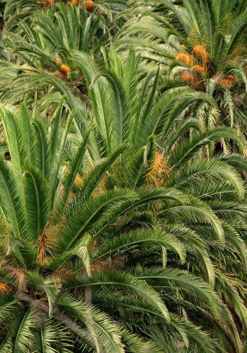 Palmwedel mit Früchten