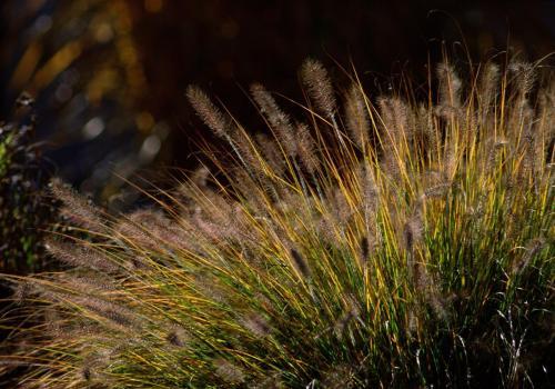 Gräserpflanze