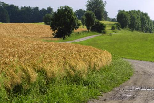 Gerstenfeld, Gerste