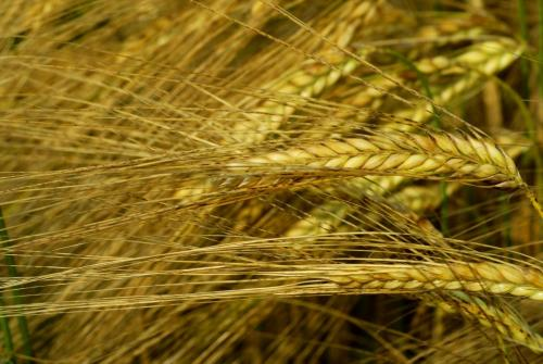 Getreide, Gerste