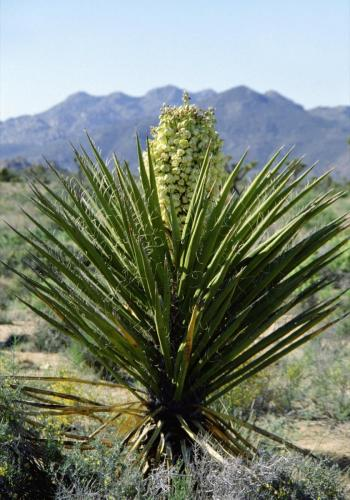Yuccapalme/Palmlilie