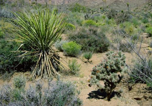 Yuccapalme/Palmlilie und Kakteen