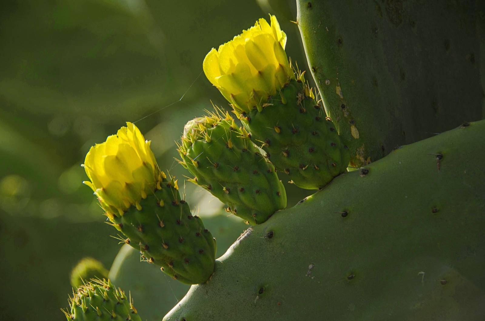 Kaktus; Kakteen
