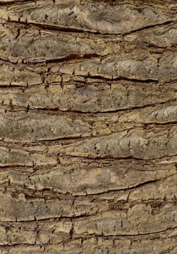 Palmenrinde