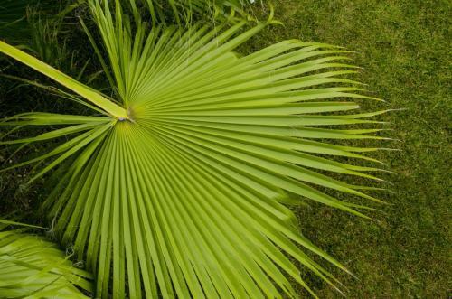 Palmen, Fächerpalmen