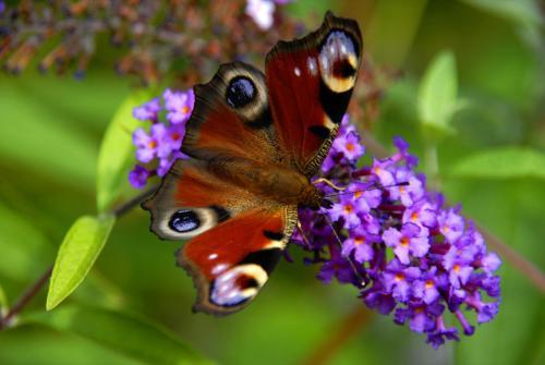 Pfauenauge auf einer Blüte