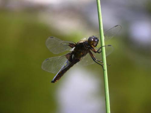 Plattbauch, Libelle